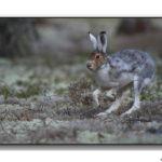 Lièvres et lapins